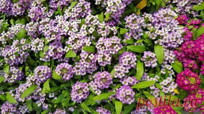 Находка для садовода — морозостойкие цветы   Журнал
