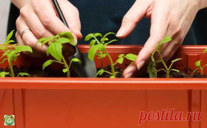 Выращиваем рассаду помидоров в домашних условиях Правила выращивания рассадыВыращиваем рассаду помидоров после подбора подходящего посадочного материала. Необходимо определить время высевания семян, которое зависит от разновидности овощной культуры.Томаты созревают в разное время и подразделяются на следующие подвиды:раннеспелые –...