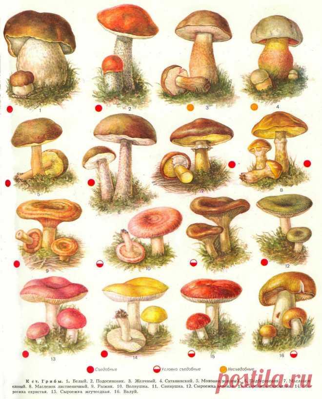 Картинки съедобных грибов с надписями, для