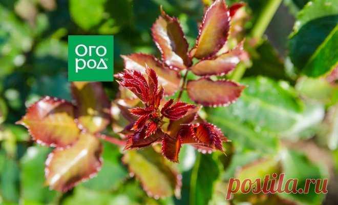 Базальные побеги роз: срочно прищипываем | В цветнике (Огород.ru)