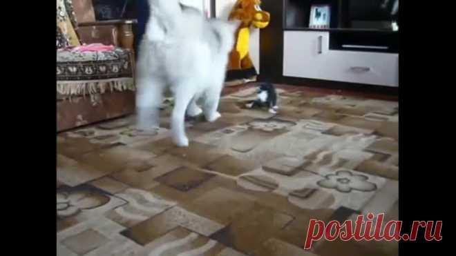 Хаски и котенок знакомятся!)