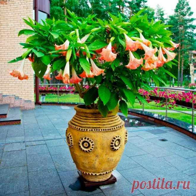 Комнатное растение Бругмансия (Brugmansia). Родина бругмансий - горные районы Анд. Растение привлекает внимание своими роскошными трубчатыми цветками, похожими на огромные колокольчики длиной 15-20 см. Для стимуляции цветения, начинающегося обычно в конце лета, растению нужен обильный полив и регулярная подкормка. Во время прохладной зимовки листья опадают; весной рекомендуется провести сильную подрезку. Бругмансия является родственником дурмана, поэтому все части растения ядовиты.