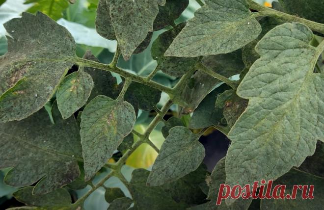 Как избавиться от белокрылки и сажистого грибка на томатах и огурцах! | Огород Легко и Просто | Яндекс Дзен