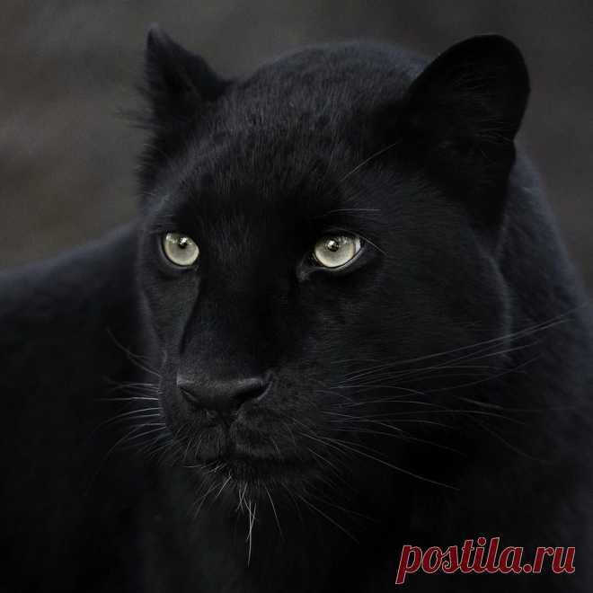 ღЧёрная пантера