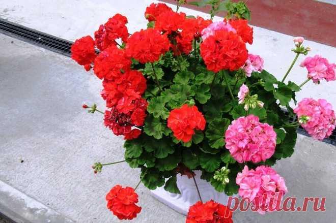 Почему семейство у этих растений одно, но не всякая герань это пеларгония, рассказываю почему | Дача ягодки цветочки | Яндекс Дзен
