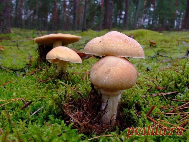 Приболотух: как не спутать деликатесный гриб с бледной поганкой? | Книга растений | Яндекс Дзен