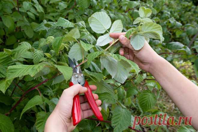 Преимущества и сроки осенней обрезки малины | посуДАЧИм об огороде | Яндекс Дзен
