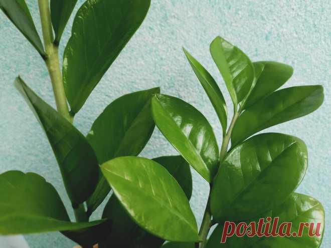 Размножение замиокулькаса листовой пластинкой. Это просто, но придется подождать | На пути к гармонии | Яндекс Дзен