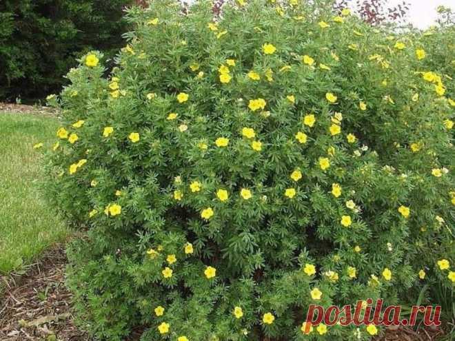 5 растений для живой изгороди, которые эффектно цветут и быстро растут | ЭКОсад для всех | Яндекс Дзен