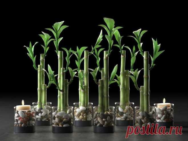 Как размножить бамбук в домашних условиях? Сейчас уже никого не удивить необычными растениями. Многие стараются украсить свой дом экзотическими композициями, неотъемлемой частью которых часто выступает бамбук. Вазы с ним смотрятся изысканно и ...