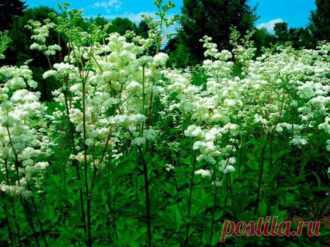 Лекарственное растение Таволга вязолистная (Filipendula ulmaria). Многолетнее прямостоячее растение с граненым стеблем высотой 1-1,5 м. Листья прерывисто-перистые с 2-5 парами крупных, по краям двояко-зубчатых, яйцевидных листочков. Желтовато-белые мелкие цветки с очень сильным запахом собраны в многолучевые ложные зонтики. У похожей таволги обыкновенной (F. vulgaris) высота всего 30-80 см, тонкий круглый или слабо желобчатый стебель.