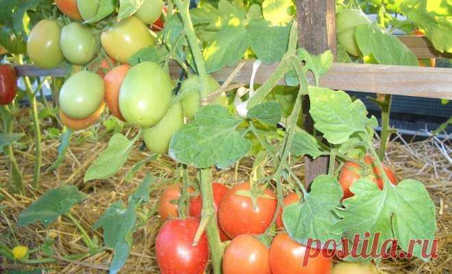 Резервы урожайности томатов – как изменить в свою пользу    Чтобы увеличить количество томатов, получаемых с вашей плантации, не нужно выращивать суперкрупные кусты или закармливать их удобрениями. Достаточно правильно выбрать сорт и сформировать растение. …