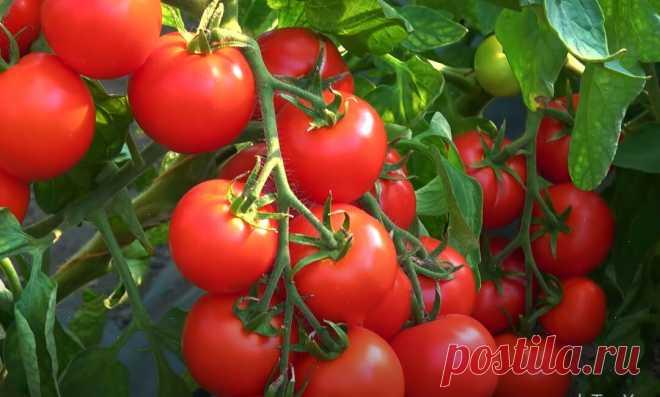Немецкий агроном научил меня выращивать помидоры без химии так, что с 25 кустов мне хватает томатов и себе, и даже родственникам   Дача в деревне   Яндекс Дзен
