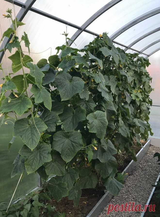 Всем рекомендую посадить именно эти сорта огурцов. Они завалят вас вкуснейшим урожаем | Волшебная грядка | Яндекс Дзен
