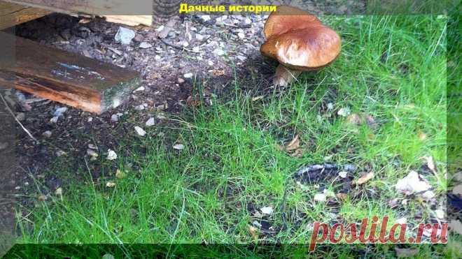 Засеваем дачный участок грибами. Очень простой способ | Дачные истории | Яндекс Дзен