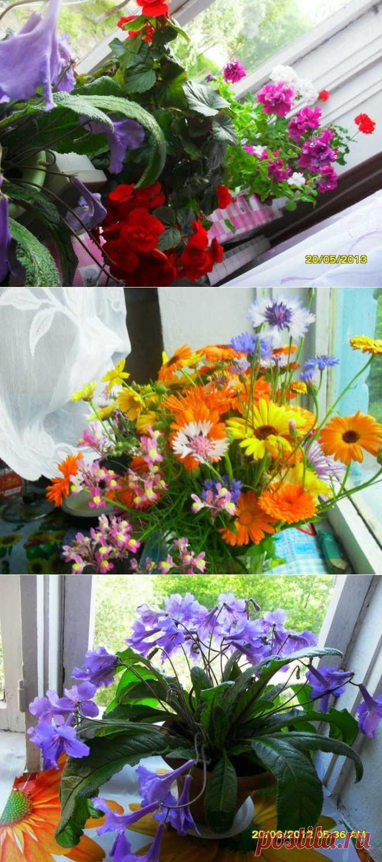 (+1) тема - ПРОСТО ЦВЕТЫ НА ПОДОКОННИКЕ-но как привлекают!Мы их поливаем,рыхлим землю,подкармливаем.Они дарят нам радость созерцания.Мы любим цветы! | САД НА ПОДОКОННИКЕ