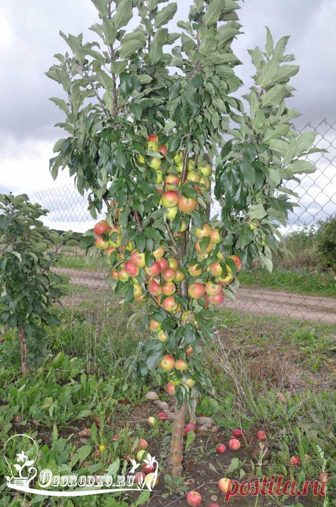 Как обрезать яблоню – обрезка яблони весной, летом, осенью + видео
