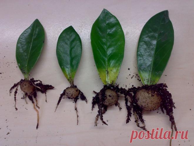 Самые доступные способы размножения замиокулькаса единичным листом. Нюансы ухода за саженцами | На земле инфо | Яндекс Дзен