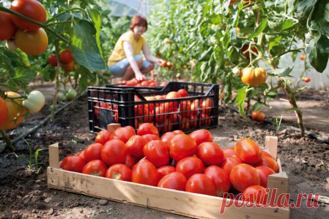 Благодаря простой подкормке, я уже 7 лет подряд собираю по 15 кг томатов с одного куста. Делюсь рецептом | Иван Замятин | Яндекс Дзен