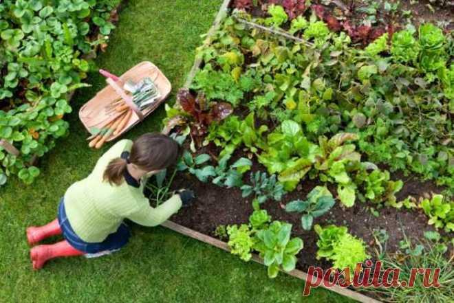Август - вторая урожайная волна   Огородник Что посадить в августе после сбора урожая. Особенности посадки и ухода.