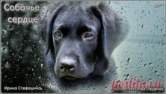 Собачье сердце. Рассказ о преданности и верности... до слез | Ирина Стефашина | Яндекс Дзен
