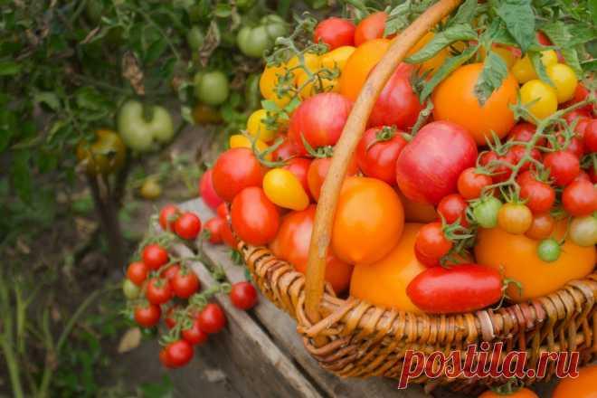 Как вырастить урожай действительно сладких томатов? Выбор семян и правильный уход. Фото — Ботаничка.ru