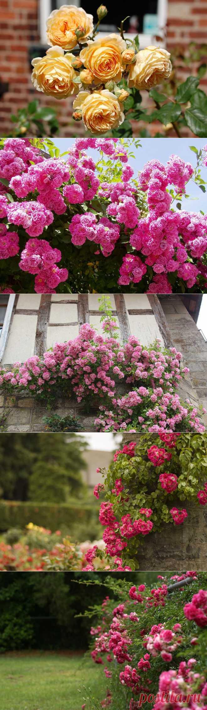 Вся роскошь вьющихся роз на службе красоты и уюта. LiveInternet.