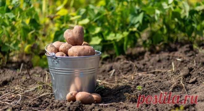 Когда копать картошку, чтобы и не поспешить, но и не опоздать. Определяя когда копать картошку, мы закладываем основу гарантии сохранности урожая. А точные сроки уборки вам подскажут внешние признаки созревания культуры.