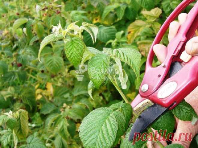 Правила обрезки малины весной, летом и осенью Какие побеги малины срезать, а какие укорачивать. Зачем обрезать малину летом и осенью. Как обрезать малину, чтобы собирать урожай на протяжении лета
