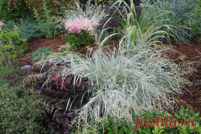 3 самых белых злака в моем саду | Сад под Петербургом | Яндекс Дзен