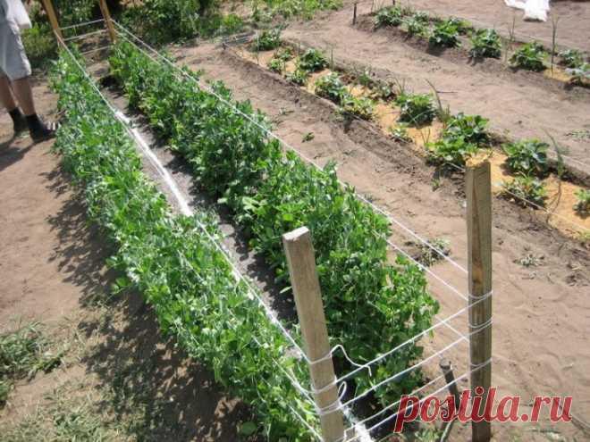 Выращивание гороха — урожай больше в 4 раза!