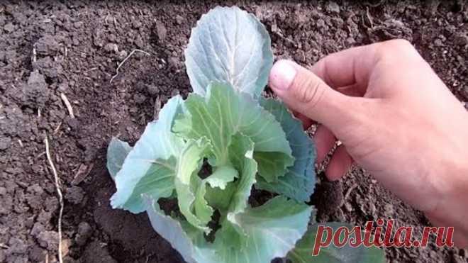 Когда подкармливать капусту /Тонкости выращивания капусты в открытом грунте
