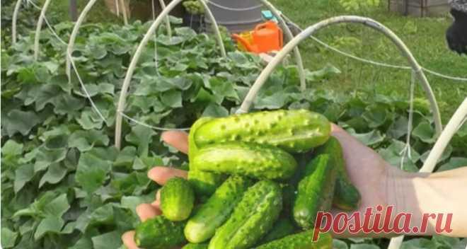 Огірки почали плодоносити - пора удобрити. 3 підживлення для хрустких огірочків - iUkrayina