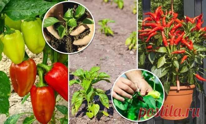 Los secretos de la plantación y la cultivación del pimiento en el terreno, el invernadero y en casa   En gryadke (Огород.ru)