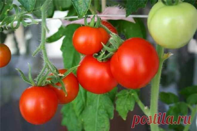 Как увеличить урожай помидоров? Для получения высокого урожая помидоров обязательно необходимо придерживается технологии выращивания, а так же знать когда и чем удобрить растение. Помидоры по своим сортовым качествам столь различны,...