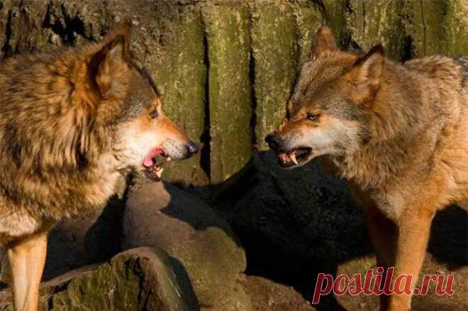 Притча про двух волков! Вы прочитаете это за 20 секунд, но будете помнить вечно! Когда-то давно старый индеец открыл своему внуку одну жизненную истину. — Каждый человек постоянно ведет внутреннюю борьбу. Это происходит потому, что в внутри нас живет два волка —...