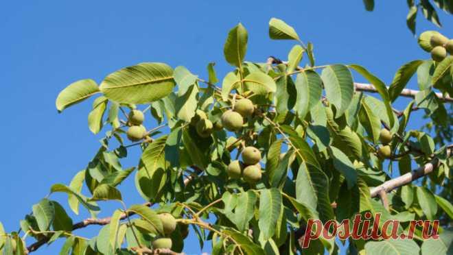 Как пересадить орех? | Растения