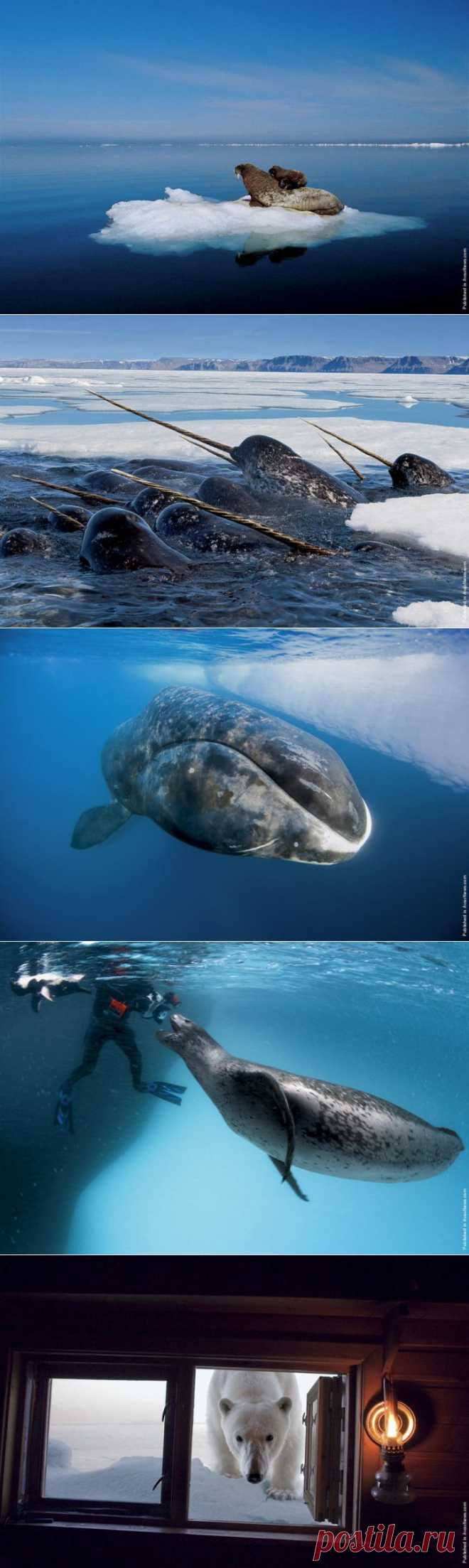 Inhabitants of the Arctic on Paul Niklen's photo | SCIENCE AND LIFE