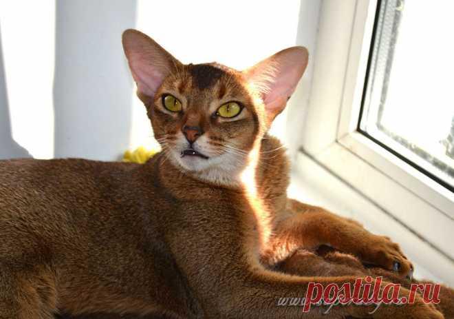 Абиссинские кошки дикого окраса, питомник абиссинских кошек Super-Aby, Москва