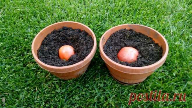 Высеваю озимые помидоры осенью целыми плодами — в горшки с землей и обхожусь без рассады на окнах | Собираем урожай | Яндекс Дзен