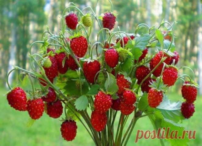 Как вырастить землянику из семян в домашних условиях на рассаду? Как ее выращивать круглый год на балконе и на подоконнике в горшках