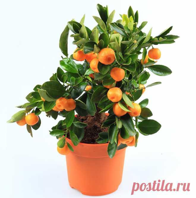 Нет зимовки-нет лимонов Цитрусовые (лимоны, апельсины, мандарины) зимой надо немного продержать в холодном и светлом... Читай дальше на сайте. Жми подробнее ➡