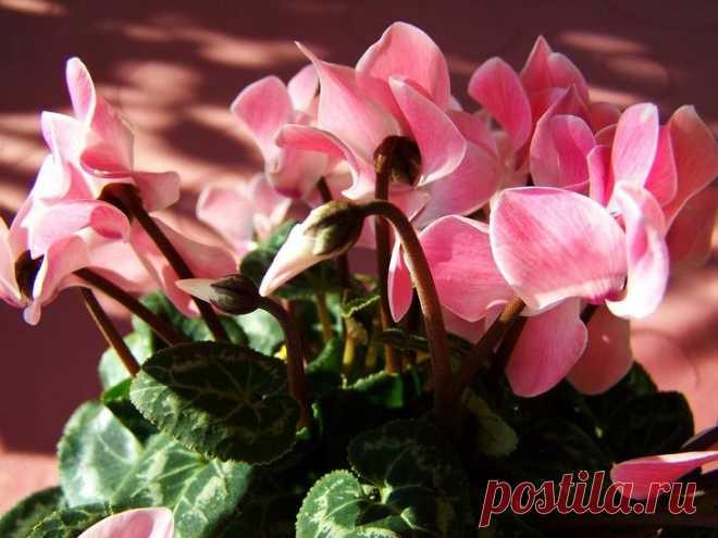 Цикламен персидский фото В цветочных магазинах трудно не обратить внимание на небольшое, компактное и вместе с тем очень эффектное растение с листочками похожими на сердечки и красивыми цветками, у которых элегантно отогнуты ...