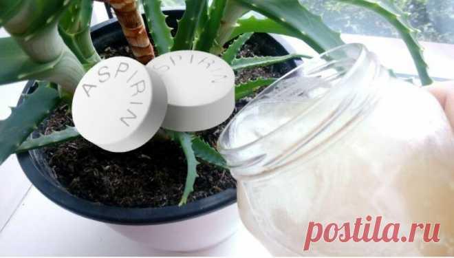 Мое самодельное удобрение на аспирине за 2 недели преображает чахлое растение в здоровое и бодрое | Собираем урожай | Яндекс Дзен