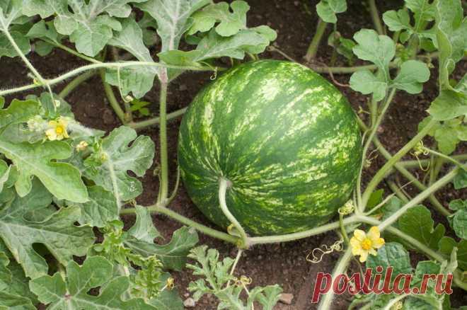 Нюансы правильного выращивания арбузов и дынь   Идеальный огород   Яндекс Дзен