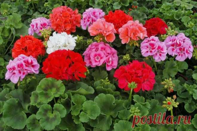 Удивительное удобрение для пышного цветения герани