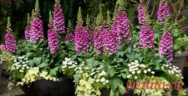 Foxglove: popular garden forms
