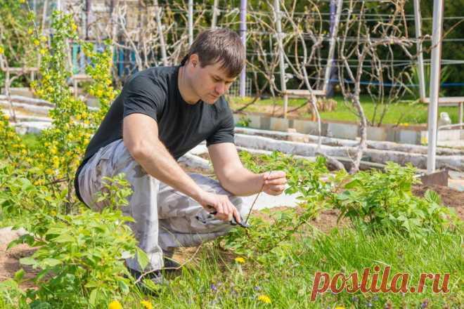 Размножение малины черенками — саженцы без затрат | Огородные шпаргалки | Яндекс Дзен
