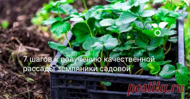 7 шагов к получению качественной рассады земляники садовой Мы часто допускаем ошибки при размножении клубники, которые лишают нас удовольствия от ее выращивания. В этой статье я расскажу, как вырастить рассаду клубники так, чтобы она была качественной и сорт не вырождался.