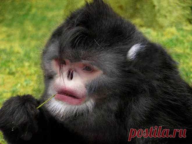 Бирманская курносая обезьяна известна науке только три года. В связи с необычным строением носа, бедняга чихает во время дождя. Обитает в северной части Бирмы (Мьянмы).